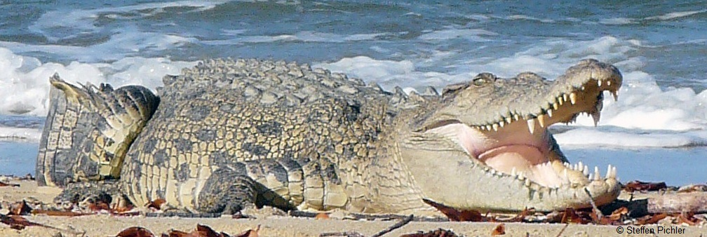 Big saltwater crocodile on beach, mouth open, big teeth to see.