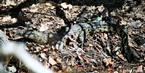 Same Saltwater crocodile as last picture, now under sunshine, but still very hard to recognize.