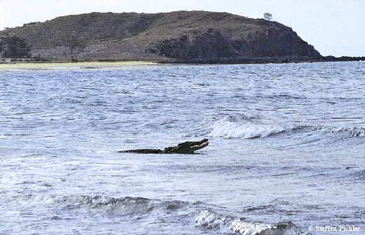 Large saltwater crocodile in ocean bay swell.