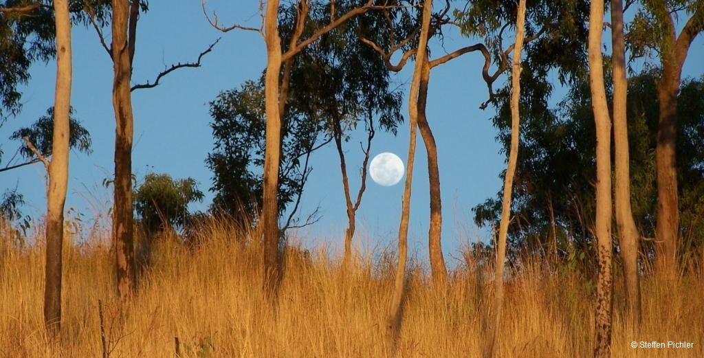 Rising moon between trees sunlighted from the setting sun in the back.