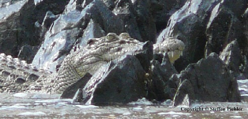Saltwater crocodile between sharp rocks watching towards camera.