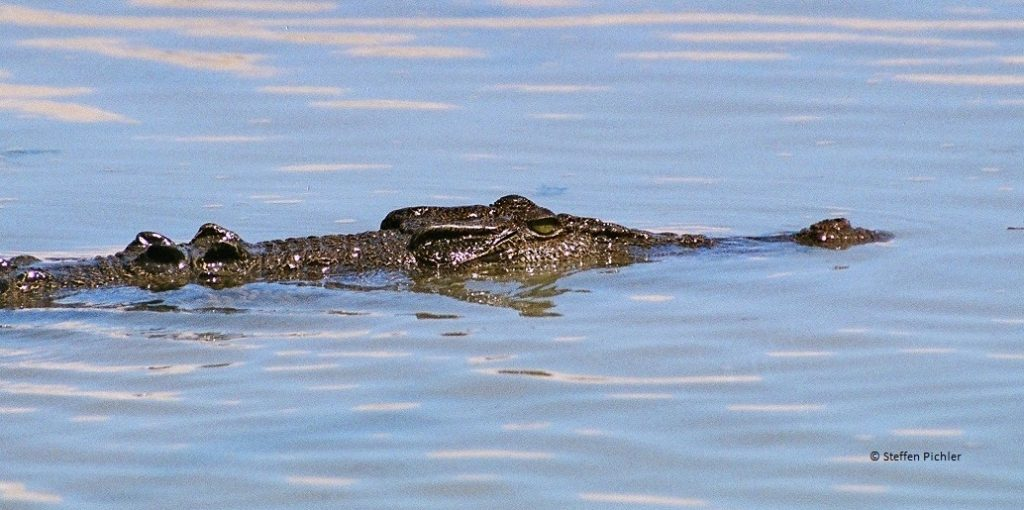 Caltwater crocodile calmly swimming along the waters surface.
