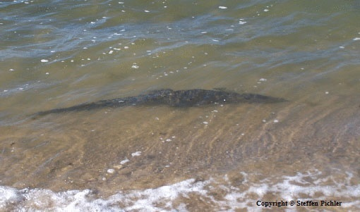 Most gentle hunter: A Saltwater crocodile visibly diving unterneath the surface very close to the waters edge of the ocean beach.