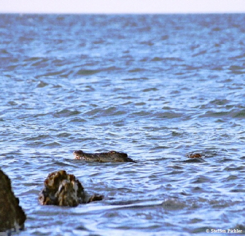 Most gentle hunter: Saltwater crocodile curving along rocks on the ocean shore.