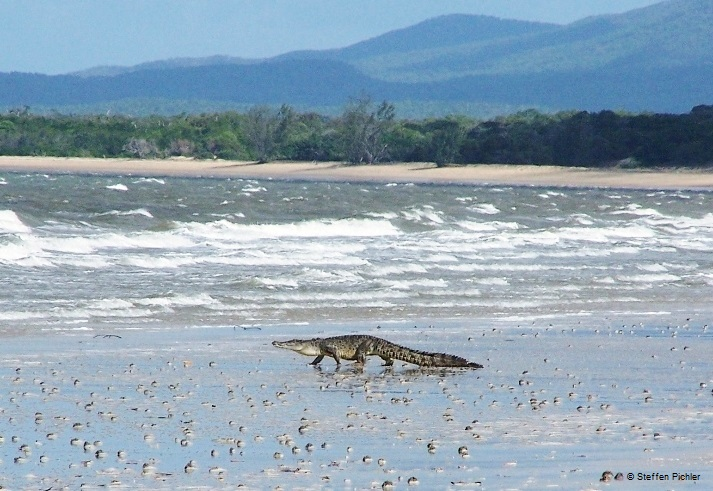 Saltwater crocodile walking on wide beach towards the troubled water, mountains in the background.