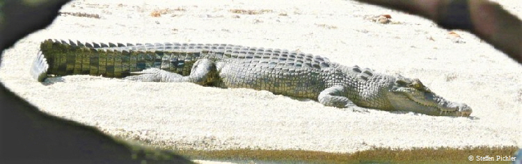 Very relaxed Saltwater crocodile lays in the sand sunning.